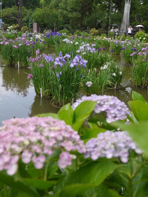太宰府の紫陽花、花菖蒲