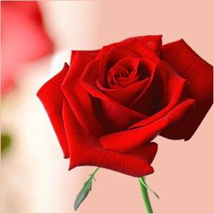 大切な贈り物に「バラの中のバラ」の赤い薔薇を!