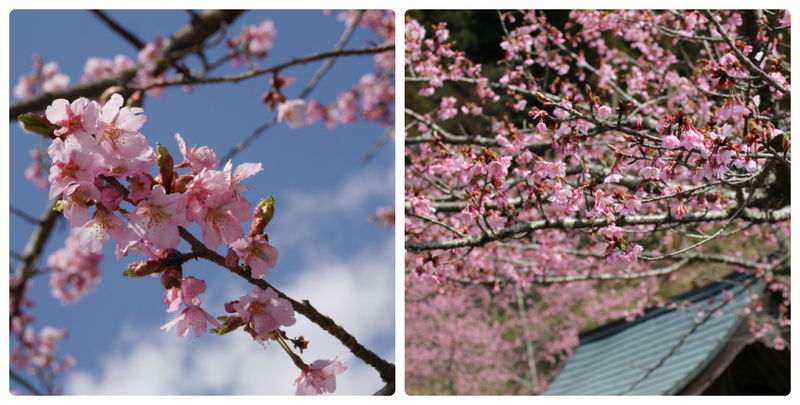 長湯温泉の桜