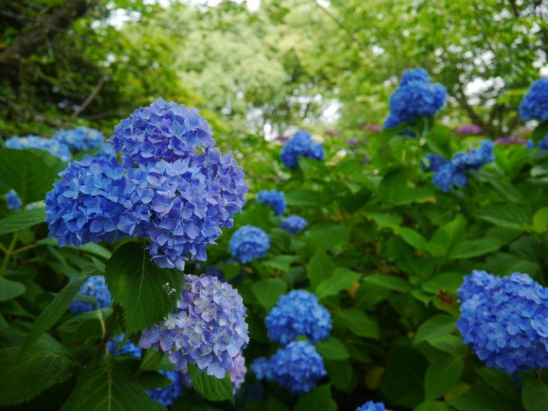大分の紫陽花